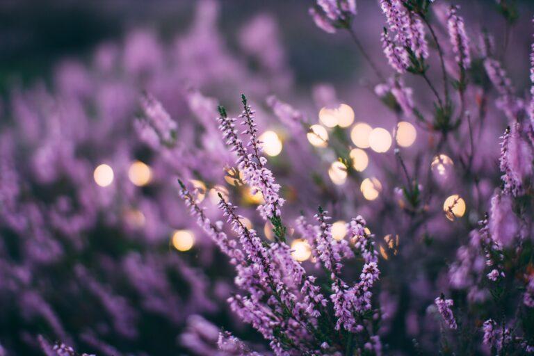feild of lavender